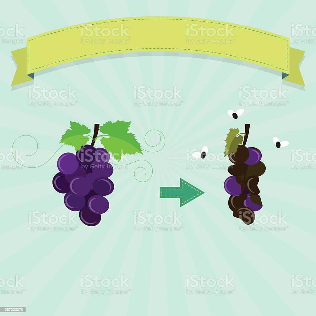 Rotten grape vector art illustration