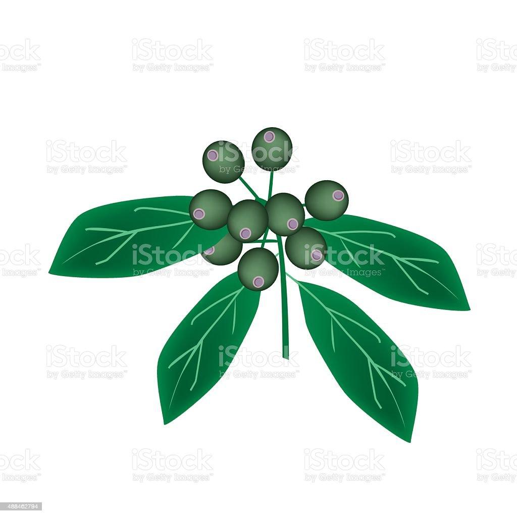 Rubiaceae Fruit or Ixora Fruit on Tree vector art illustration