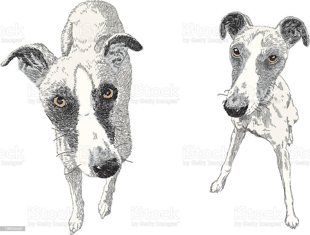 Rufus vector art illustration