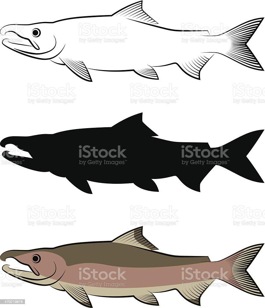 SalmonSpecies_Chum royalty-free stock vector art