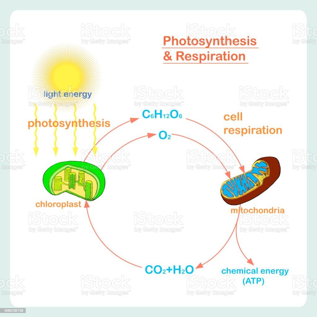 Reaksi Anabolisme – Penjelasan Lengkap Tahap dan Faktor-Faktor Fotosintesis dan Kemosintesis
