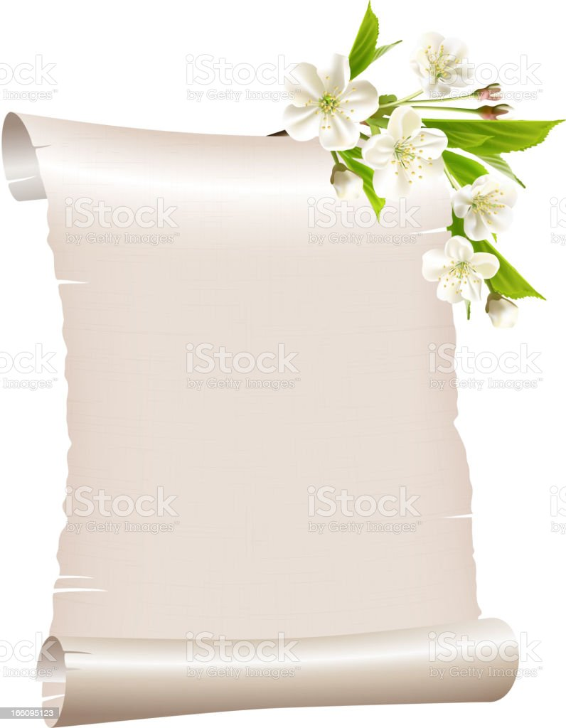 Scroll blank paper with blossoming cherry branch royalty-free stock vector art