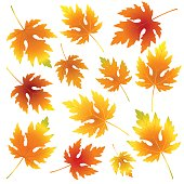 Seamless fall ornamental vector pattern with maple leaves on white.