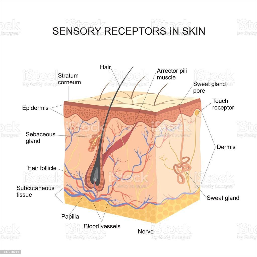 Sensory receptors In skin vector art illustration