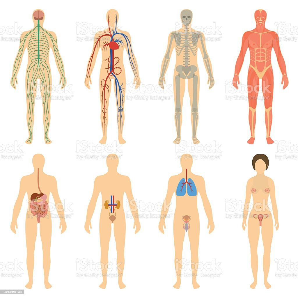 Set human organs and systems of the body vitality vector art illustration