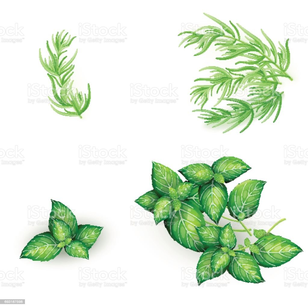 Set of basil and tarragon in realistic style vector art illustration