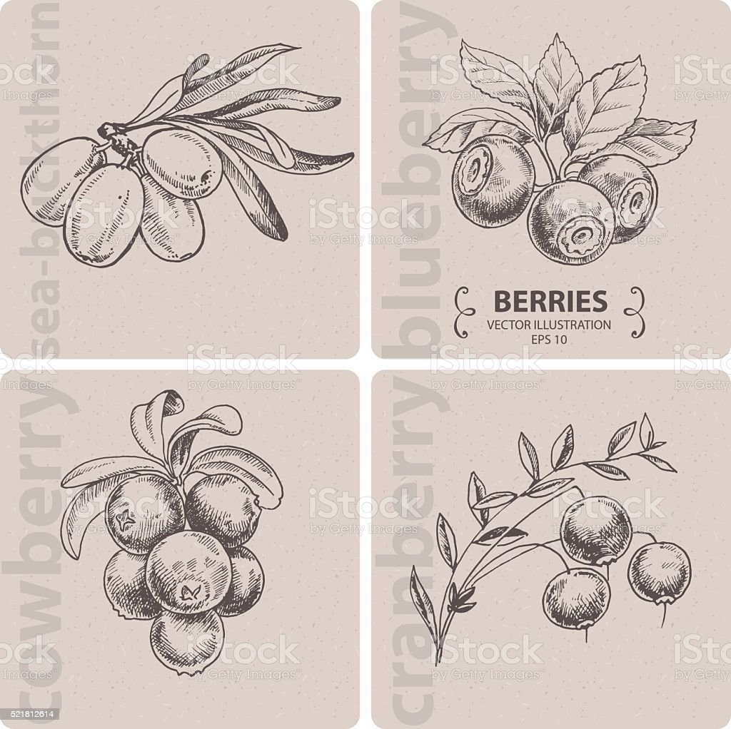 Set of berries - Cranberry, Blueberry, Cowberry and Sea-buckthorn. vector art illustration