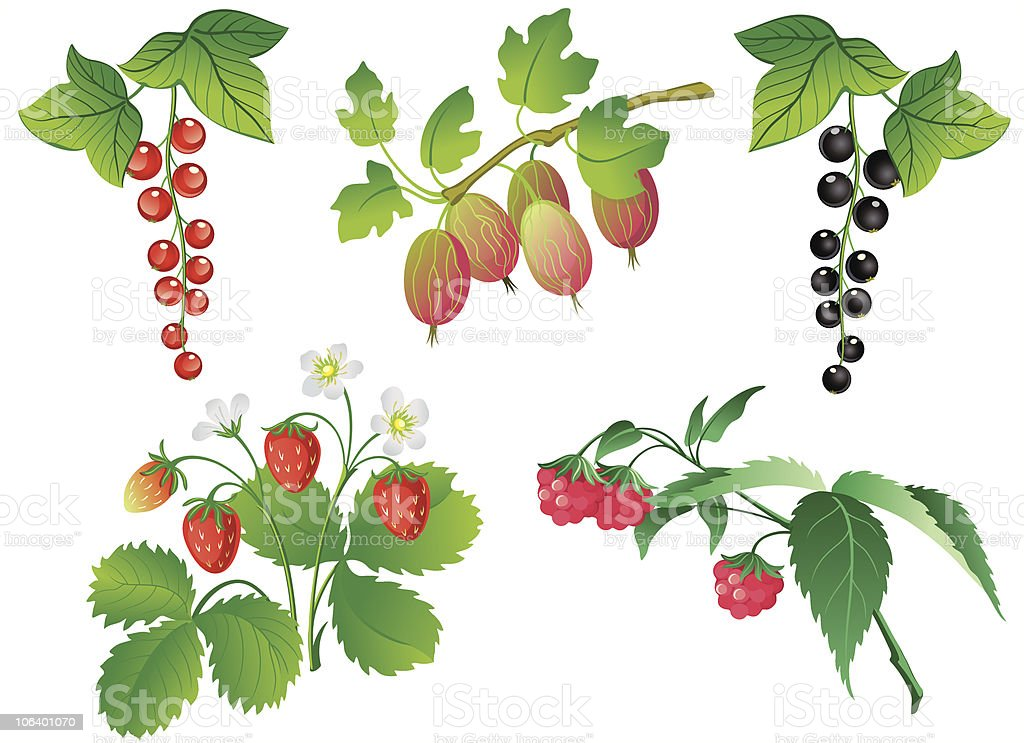 Set of berries royalty-free stock vector art