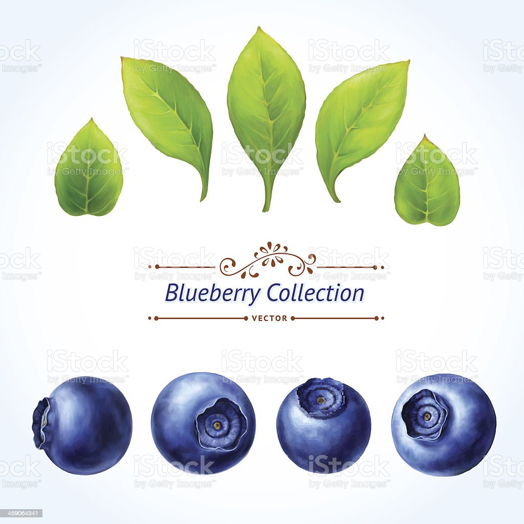 A set of blueberries and leaves vector art illustration