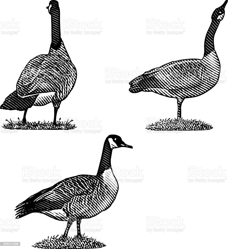 Set of Canada Goose Illustrations stock photo