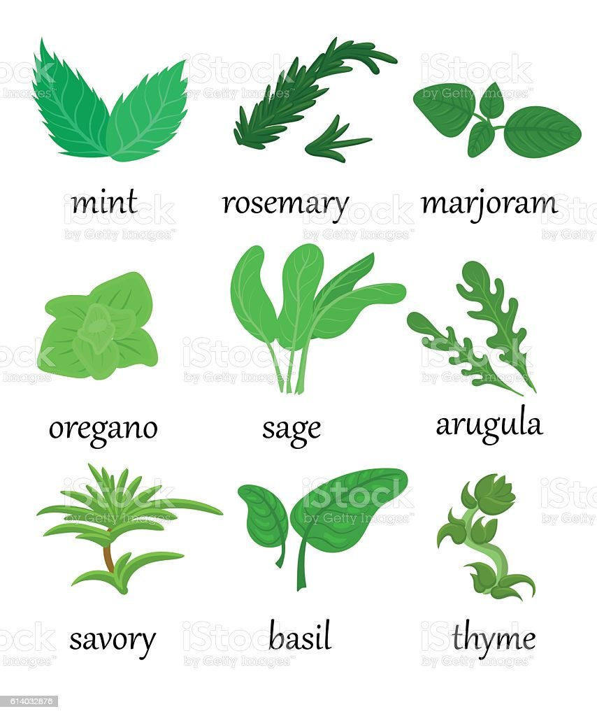 Set of different special herbs which are using in cooking vector art illustration