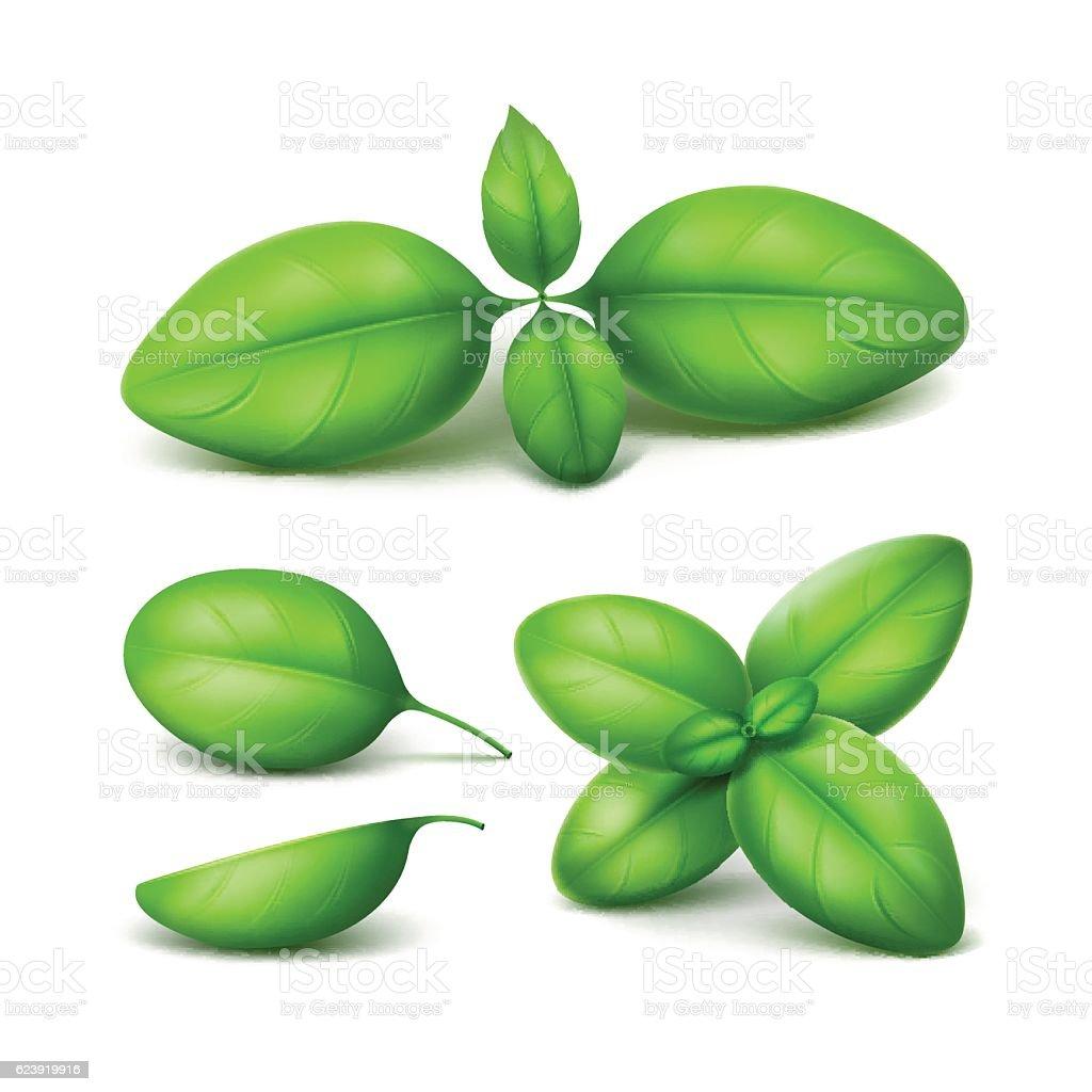 Set of Green Fresh Basil Leaves Close up Isolated vector art illustration