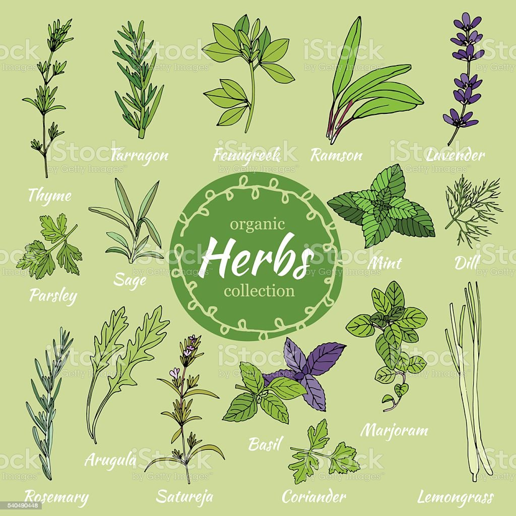 Set of hand draw herbs for food and cosmetic. vector art illustration
