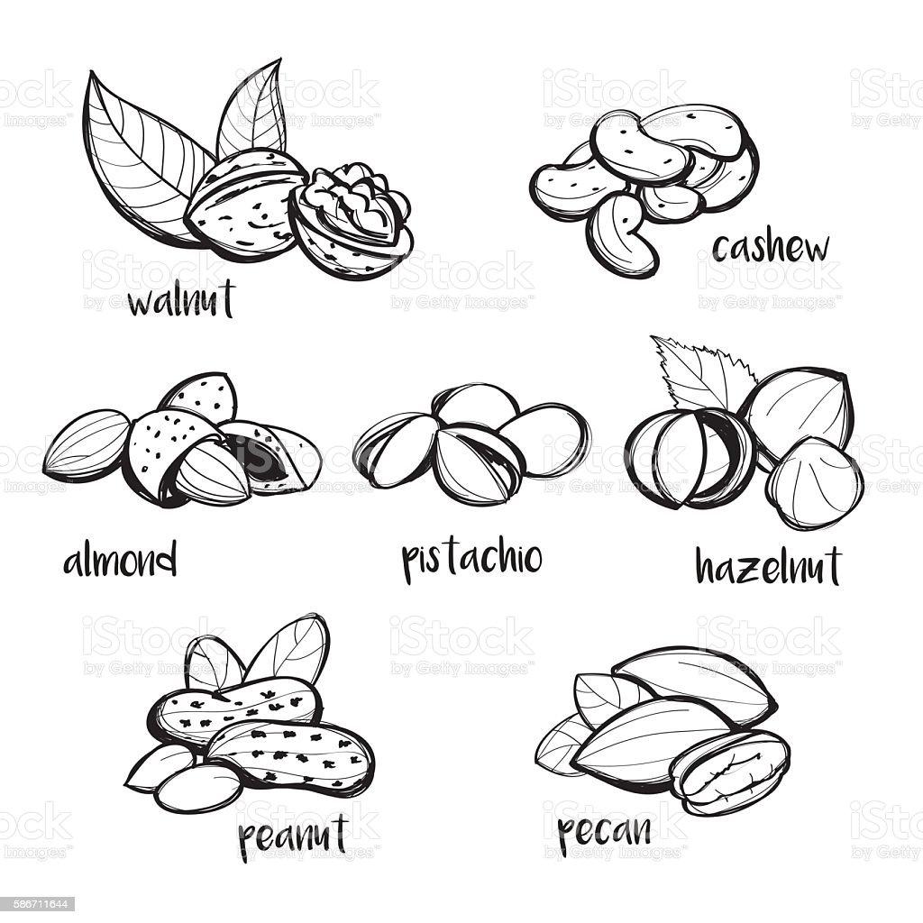 Set of hand drawn nuts vector art illustration