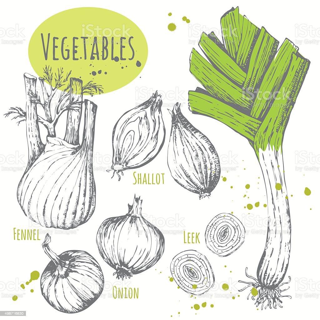 Set of hand drawn onion, leek, fennel, shallots. vector art illustration