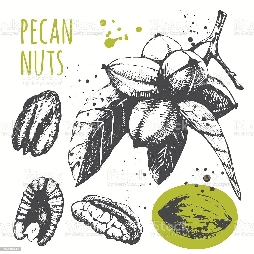 Set of hand drawn pecans. Black and white sketch food. vector art illustration
