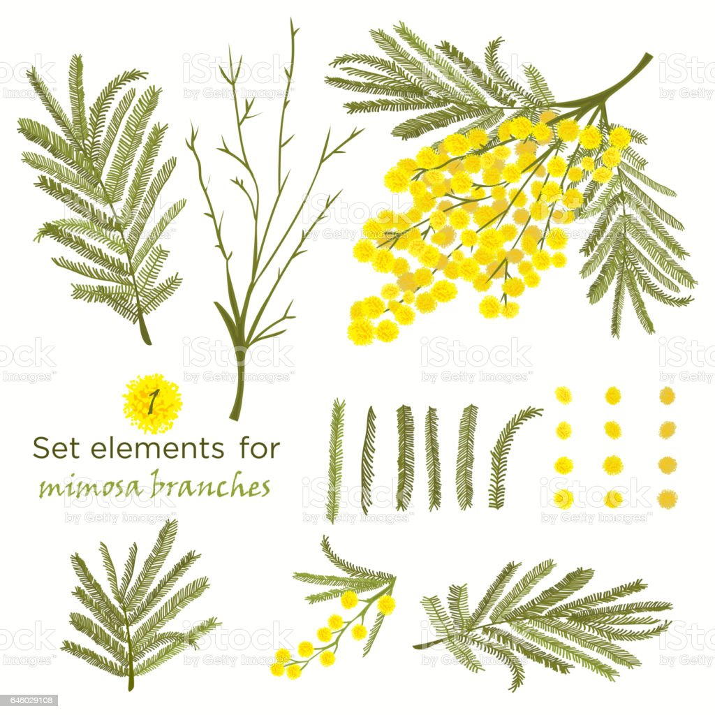 Set of hand-drawn elements for branches of mimosa vector art illustration