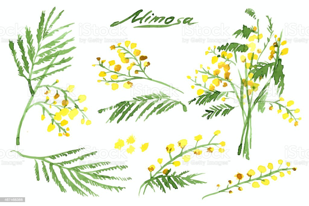 Set of Hand-Drawn Mimosa, Painted in Watercolor vector art illustration