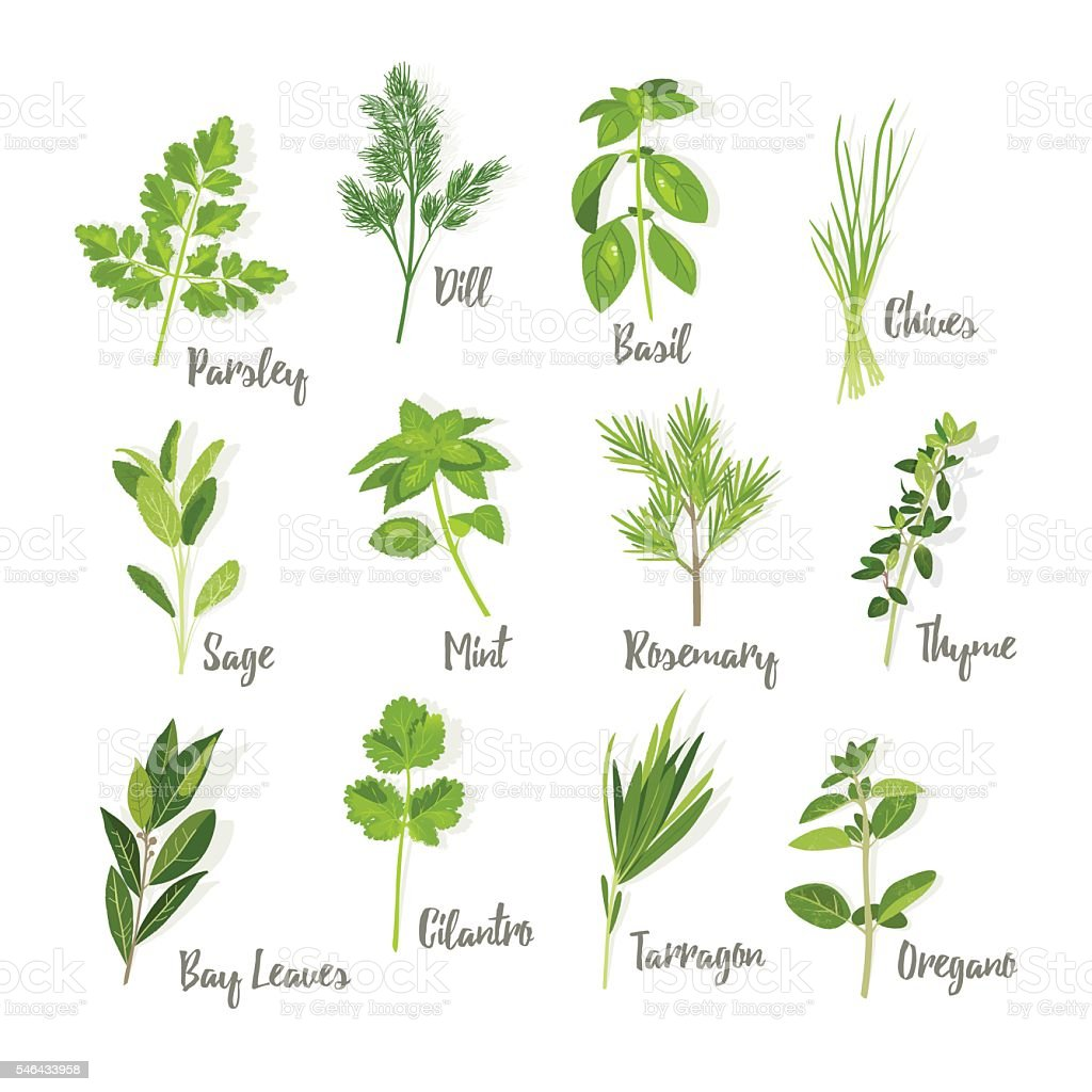 Set of herbs isolated vector art illustration