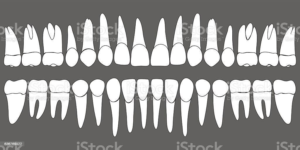 set of human teeth dental template vector art illustration