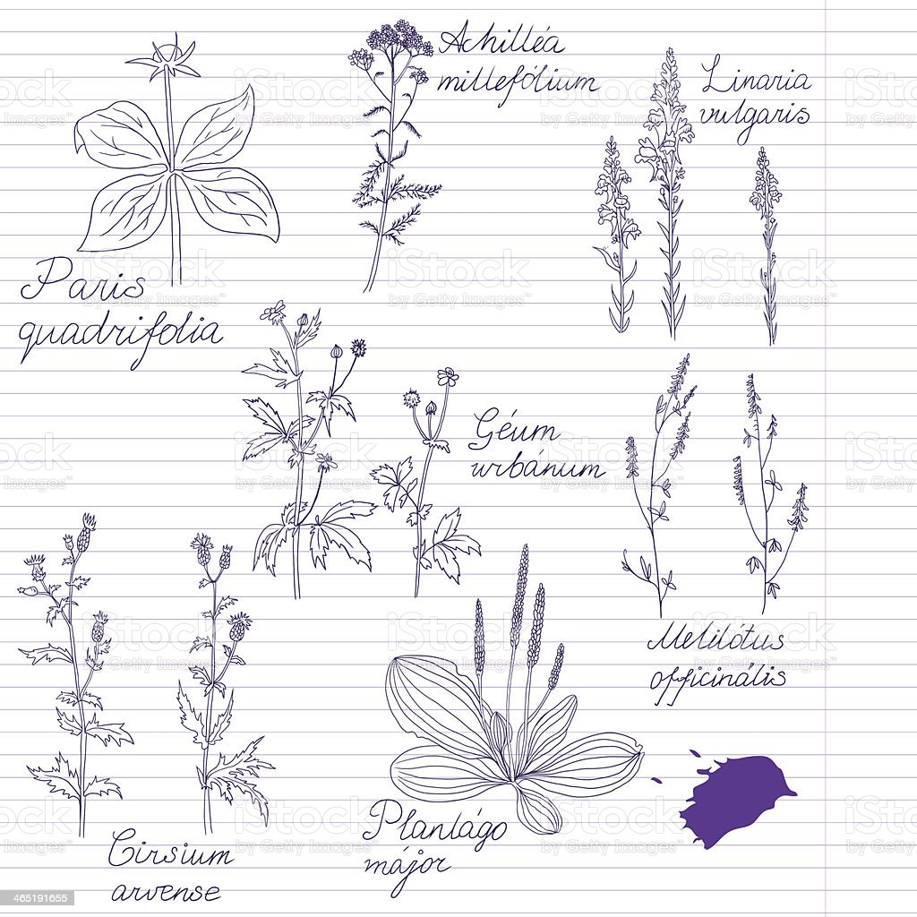 Set of ink drawing herbs with Latin names vector art illustration