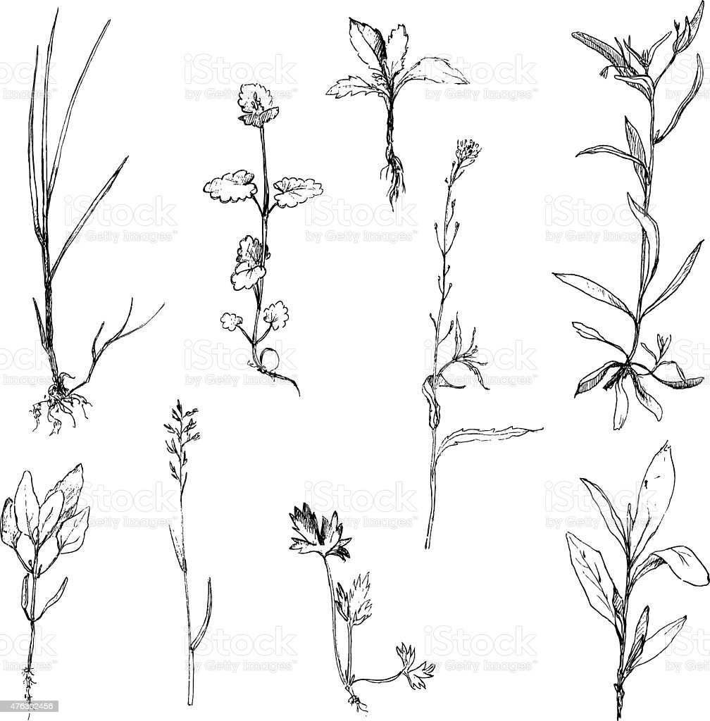 Set of pencil drawing herbs and leaves vector art illustration