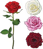 Set of pink, white, red rose, top and side view