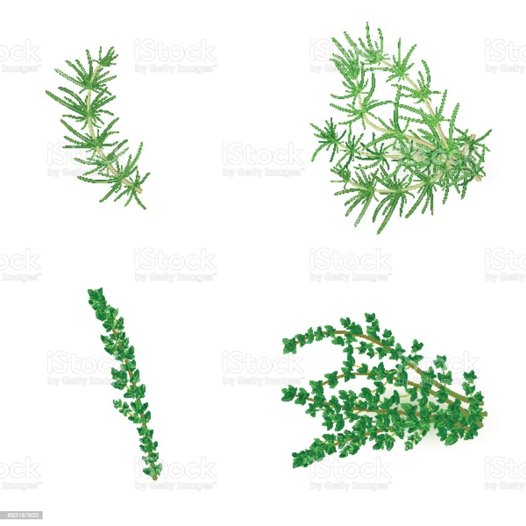 Set of Rosemary and thyme in realistic style vector art illustration