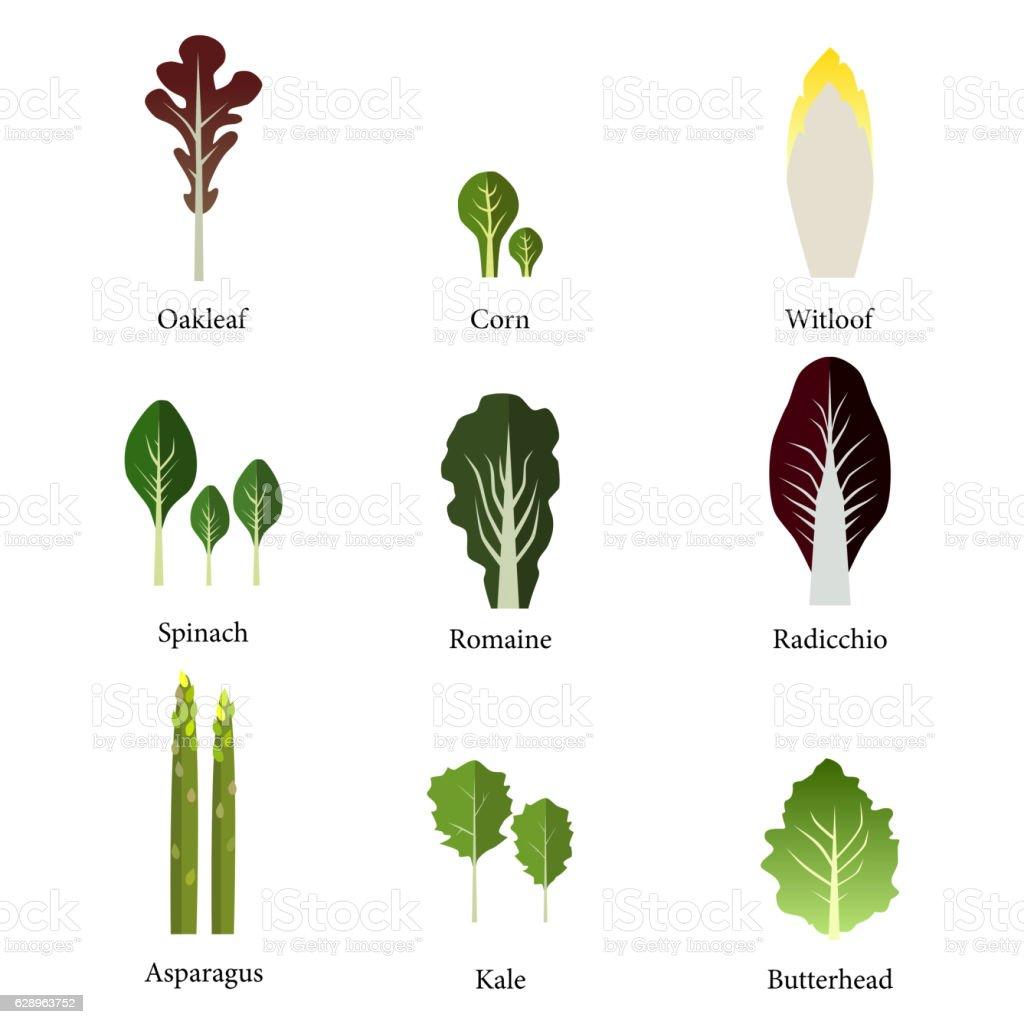Set of salad bowl. Leafy vegetables green . Vector vector art illustration