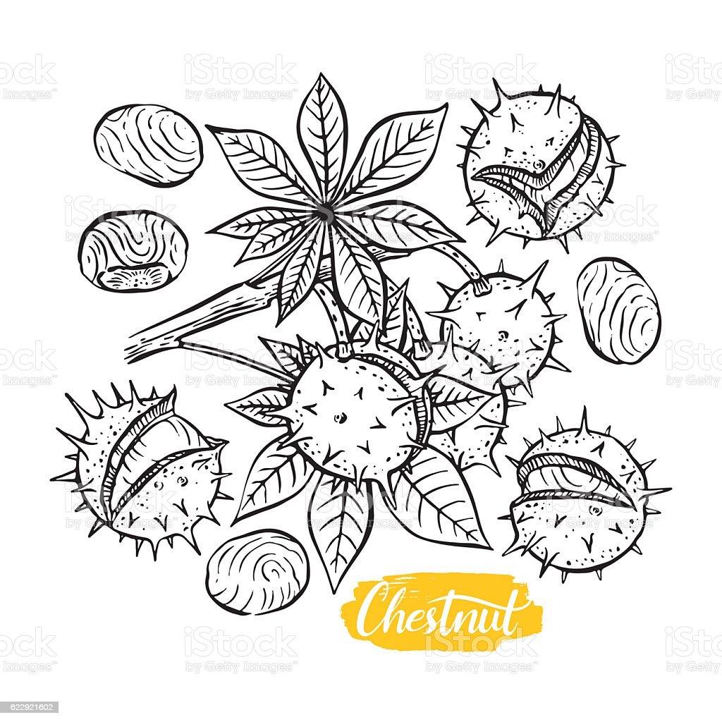set of sketch chestnuts vector art illustration