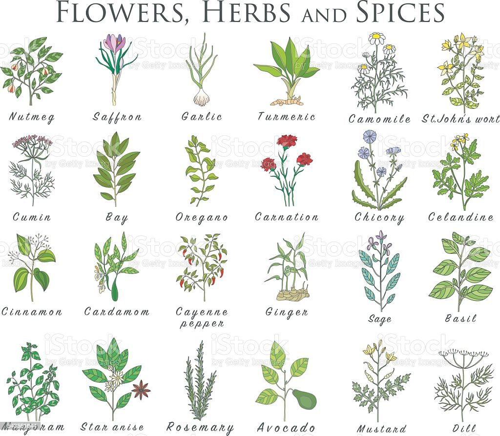 Set of spices, herbs and officinale plants icons. Healing plants vector art illustration