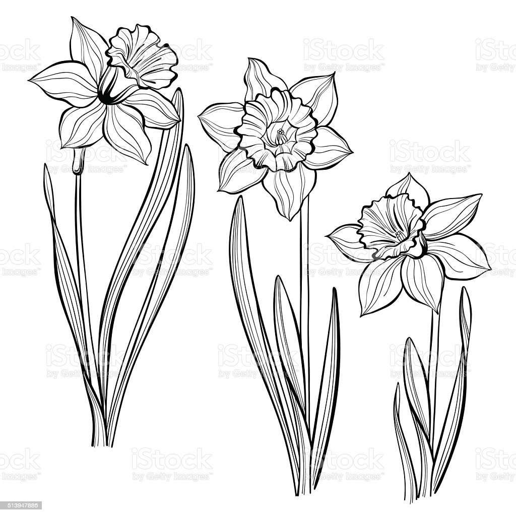 Set of spring flowers daffodils isolated on white background. vector art illustration