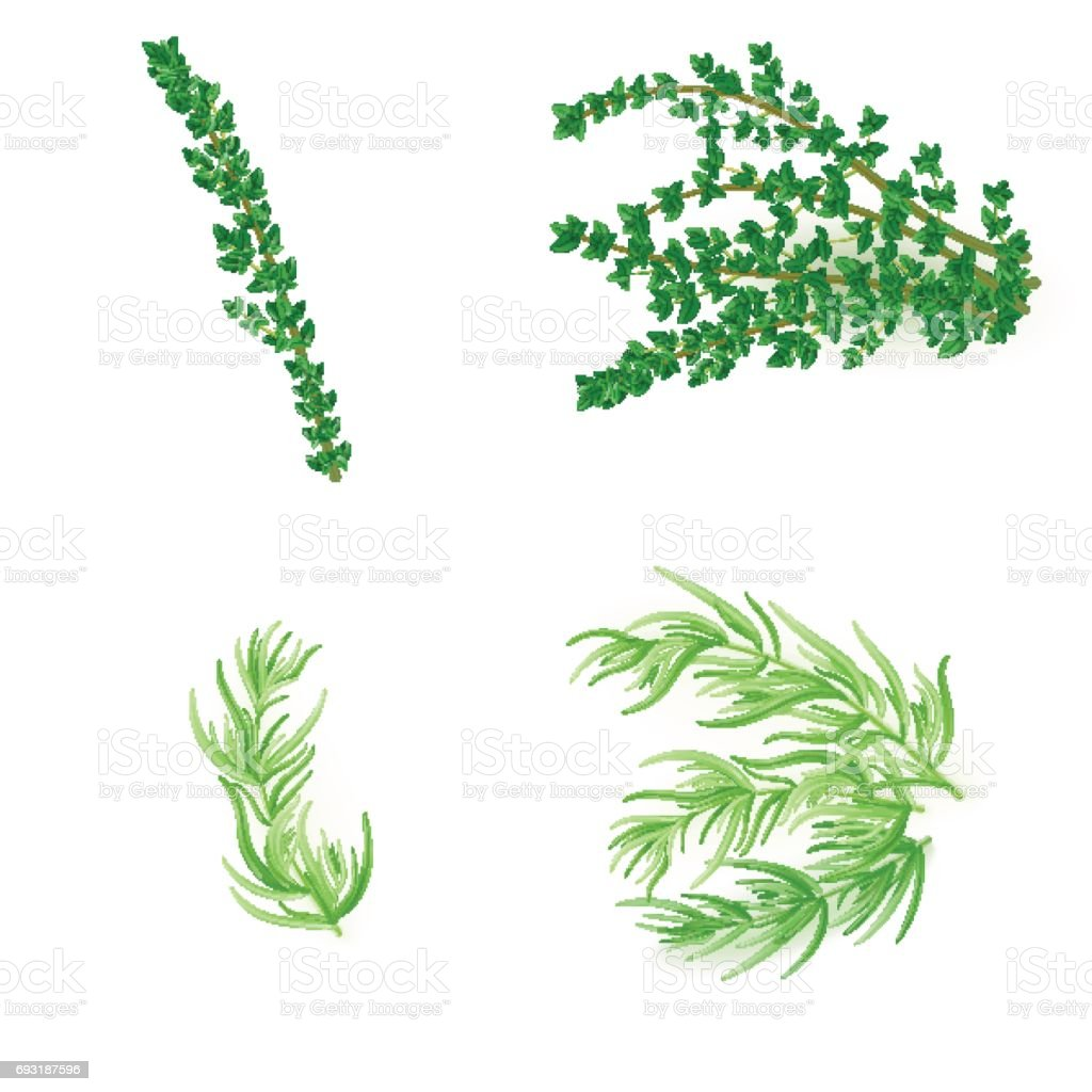 Set of thyme and  tarragonin realistic style vector art illustration