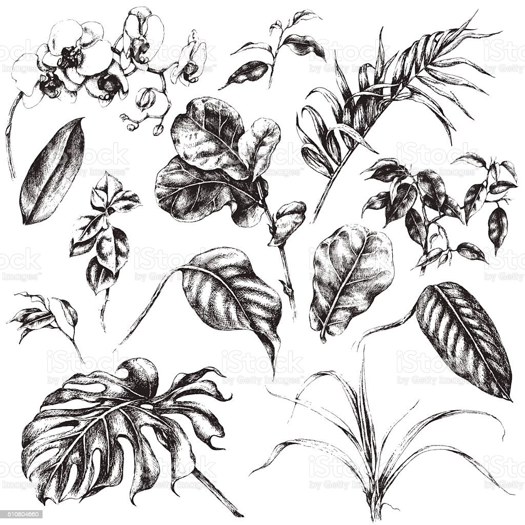 Plant top view vector in group download free vector art stock - Set Of Tropical Plant Leaf Royalty Free Stock Vector Art