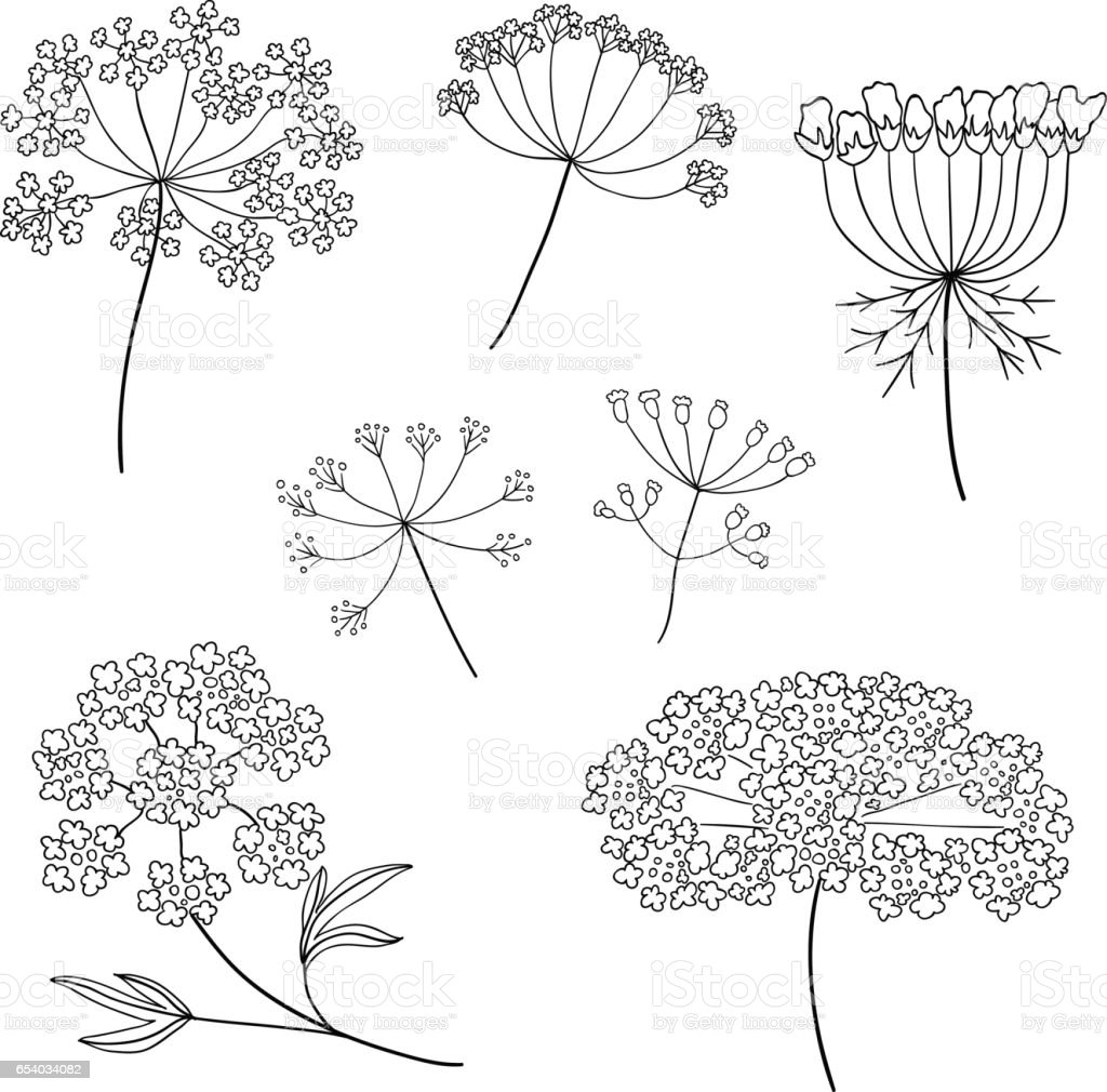 Set of vector different types of inflorescence, isolated on white. Compound inflorescence. Dill or fennel flowers and leaves. Stylized hand drawn vector illustration vector art illustration