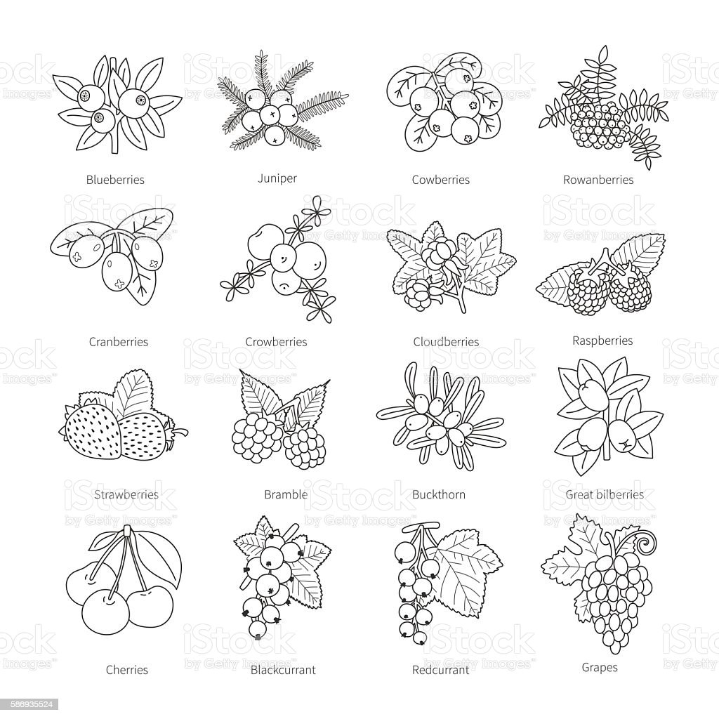 Set of vector outline doodle pied berries isolated on white vector art illustration