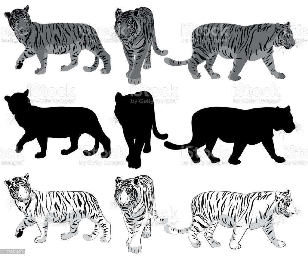 Set of walking Tigers vector art illustration