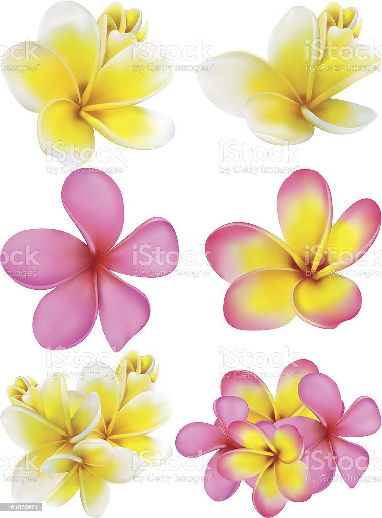 Set  plumerias of different colours vector art illustration
