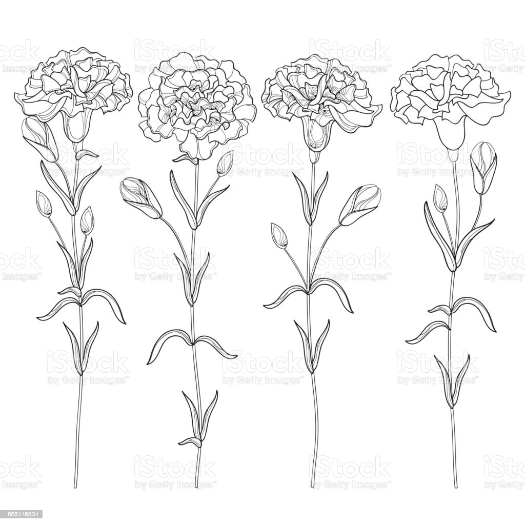 set with carnation or clove bud and leaves isolated on white