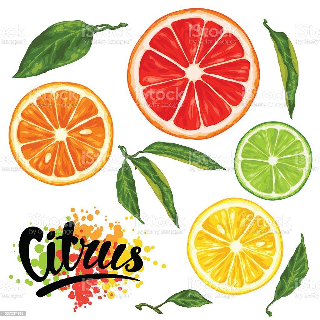 Set with citrus fruits slices. Mix of lemon lime grapefruit vector art illustration