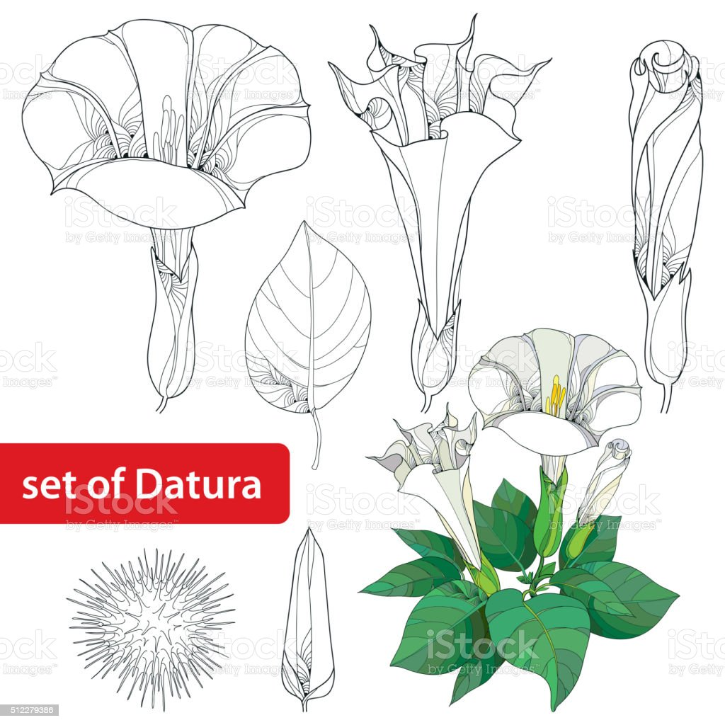 Set with Datura stramonium or Thorn apple isolated on white. vector art illustration