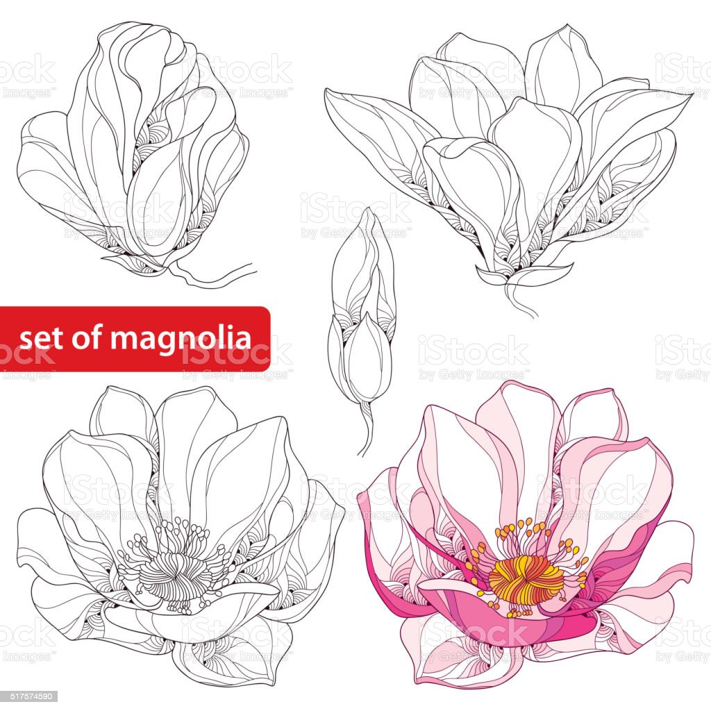 Set with magnolia flowers and buds isolated on white background vector art illustration