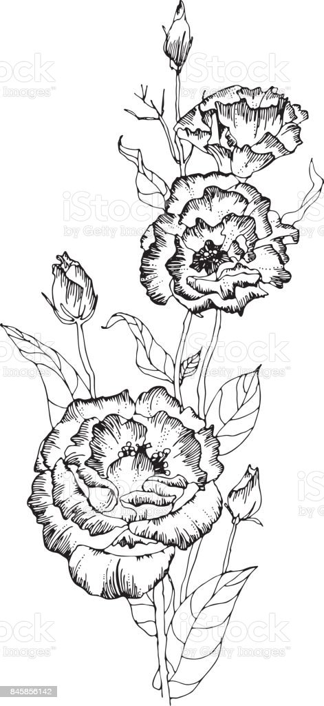 Several eustomas (tripped flowers and buds) on thin stems with leaves. Several eustomas (tripped flowers and buds) on thin stems with leaves. Black and white vector illustration. Vector illustration. vector art illustration