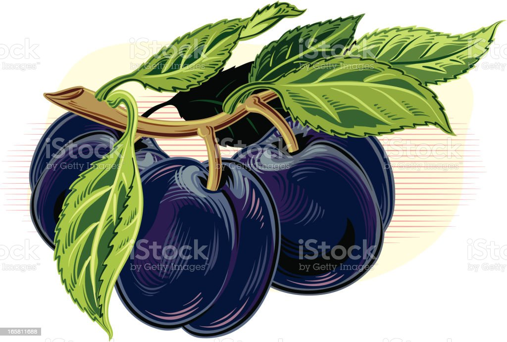 Several plums on a branch with leaves vector art illustration