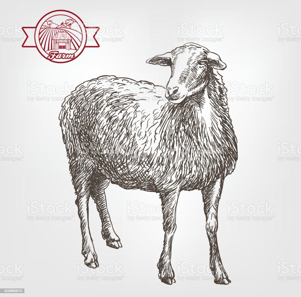 sheep breeding sketch vector art illustration