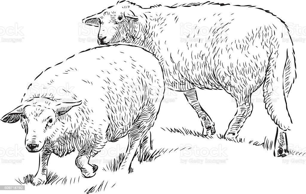 sheep in the pasture vector art illustration