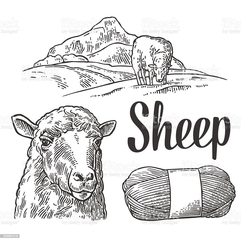Sheep on meadow and yarn. Vintage vector engraving illustration vector art illustration
