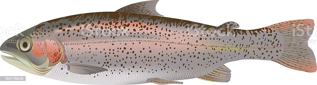 A shiny and speckled rainbow trout on a white background royalty-free stock vector art