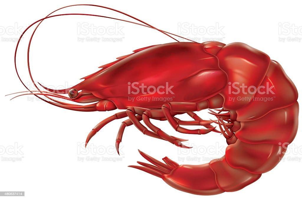 Shrimp vector art illustration