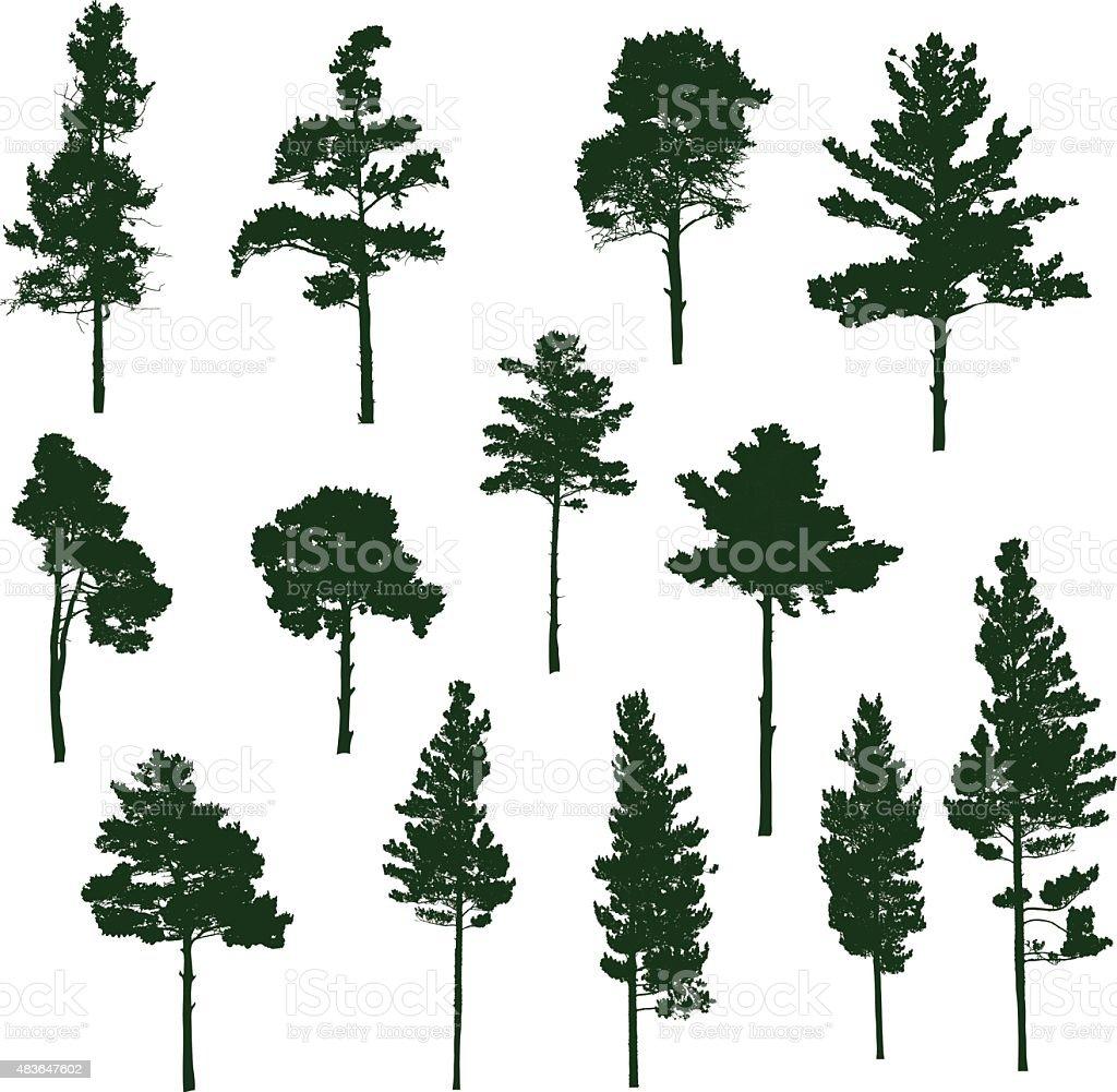 Siberian Pine tree vector art illustration